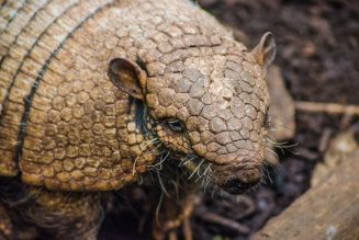 armadillo carries leprosy