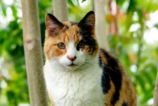 are calico cats female