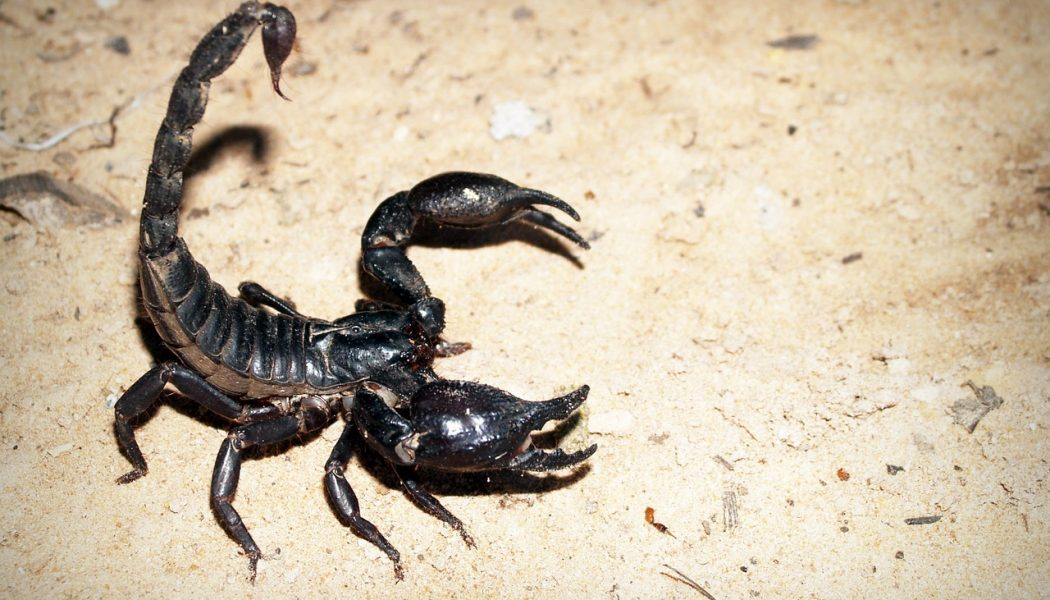 smaller scorpions more deadly