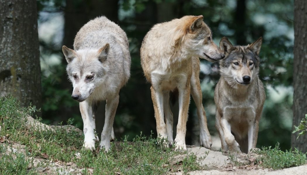 dogs descend from wolves