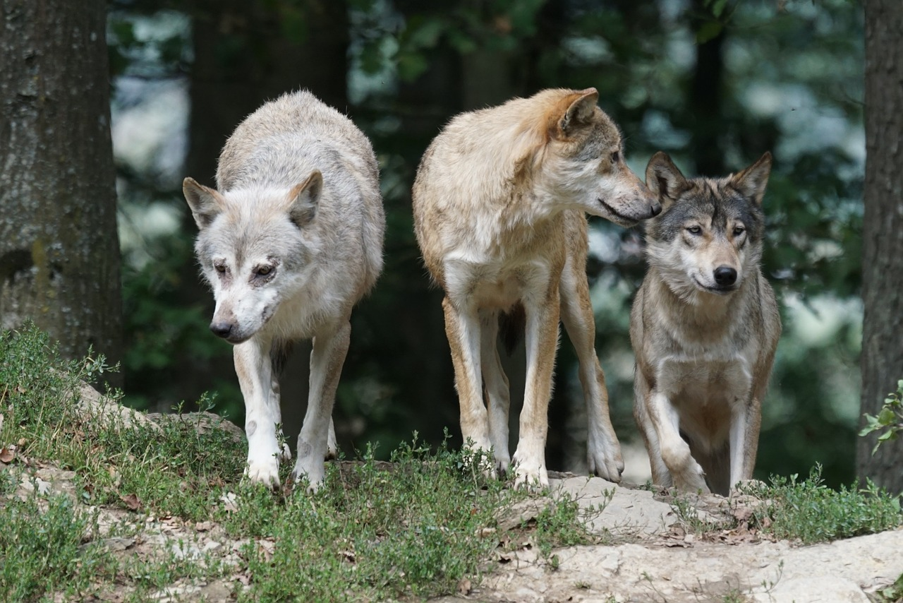 Is it True That All Dogs Descend From Wolves?